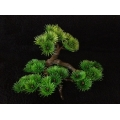 Bonsai Tree - Small